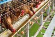 【無断転載禁止】鶏鳴新聞2021年10月5日号  全農、トン約1250円値下げ 10-12月期配合飼料価格
