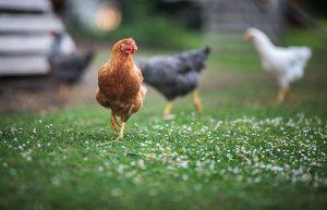 【無断転載禁止】鶏鳴新聞2021年5月25日号 経営体数は採卵鶏、ブロイラーとも減少 2020年農林業センサス  採卵鶏飼養羽数は増加、ブロイラーの年間出荷羽数は減少