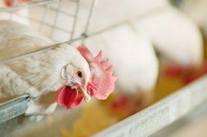 【無断転載禁止】鶏鳴新聞2020年12月15日号 10月え付けは採卵用めす3.5%減、ブロイラー用1.2%増