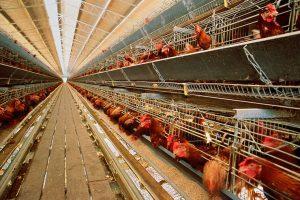 【無断転載禁止】鶏鳴新聞2021年8月15日号  鶏肉15.5%減、調製品2.7%減、卵は殻付換算で7.5%減 6月輸入