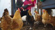 【無断転載禁止】鶏鳴新聞2021年7月25日号  成鶏めすは0.8%減の1億4065万羽 令和3年2月1日現在の畜産統計