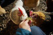 【無断転載禁止】鶏鳴新聞2021年6月25日号  採卵鶏AW基準案は不採択 OIE総会
