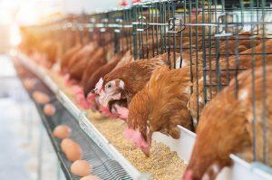 【無断転載禁止】鶏鳴新聞2020年9月5日号 令和2年上半期配合飼料出荷量 ~育すう用0.2%増、成鶏用0.3%減、ブロイラー用0.6%増~