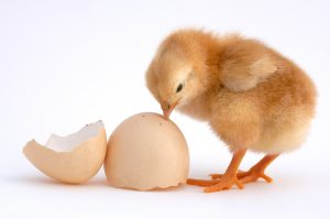 令和2年の種鶏導入計画 レイヤー増加